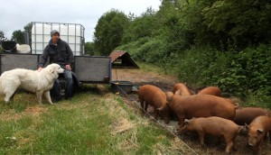 The farms pig herd with Shepard and dog